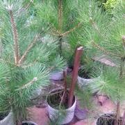 Сосна черная крымская 30-50 см